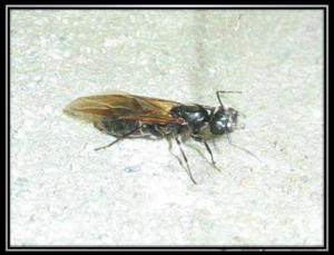 fourmi charpentière ailée